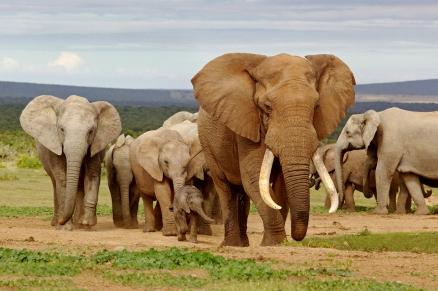 Cuadro Elefantes (bfl47216205)