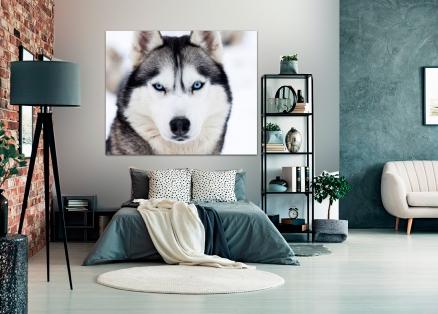 Cuadro husky siberiano (bfl48885998)b