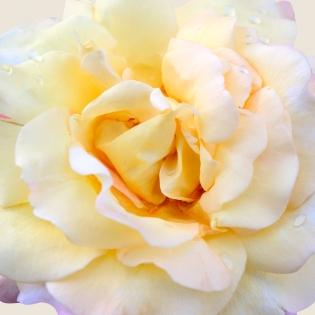 Cuadro flor blanca (bgca0611)