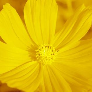 Cuadro flor amarilla (bgca0619)