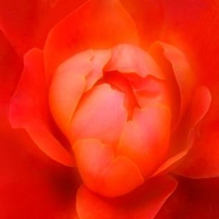 Cuadro flor roja (bme160093)