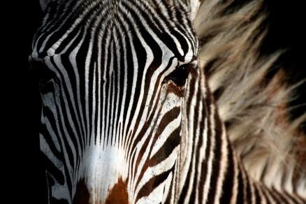 Cuadro cebra (bme190021)