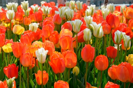 Cuadro tulipanes naranja (bpx0102)