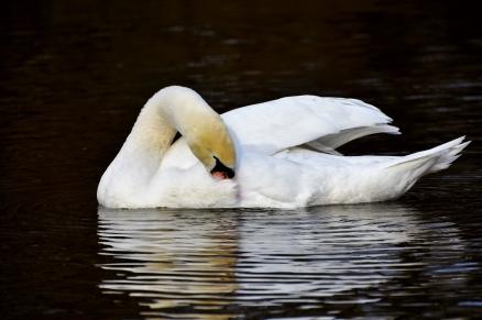 Cuadro cisne en el lago (bpx0202)