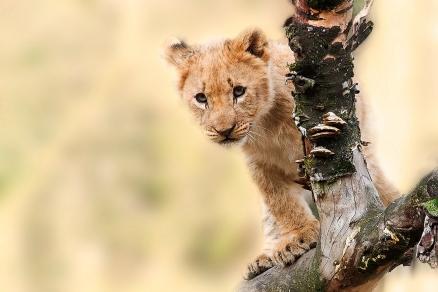 Cuadro cachorro de leon (bpx0206)