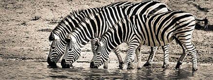 Cuadro cebras bebiendo (bpx0203)